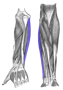 Flexor_carpi_ulnaris