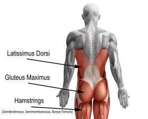 Lats, Glutes, Hamstrings The latissimus dorsi (Lats), gluteus maximus (glutes) and hamstring muscles are the primary movers in the posterior kinetic chain.